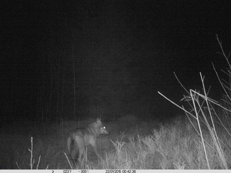 landesfachausschuss wolf in nrw nabu fotofallenbilder belegen einen wolf im kreis siegen. Black Bedroom Furniture Sets. Home Design Ideas